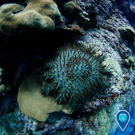 photo of crown of thorns starfish