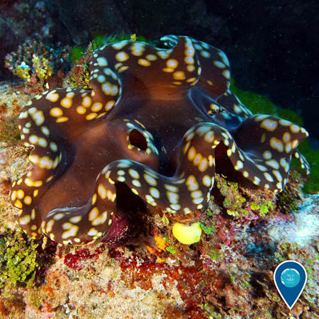 photo of a giant clam