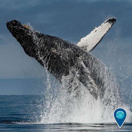 photo of humpback whale breaching