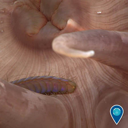 photo of worm on anemone