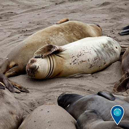 photos of elephant seals