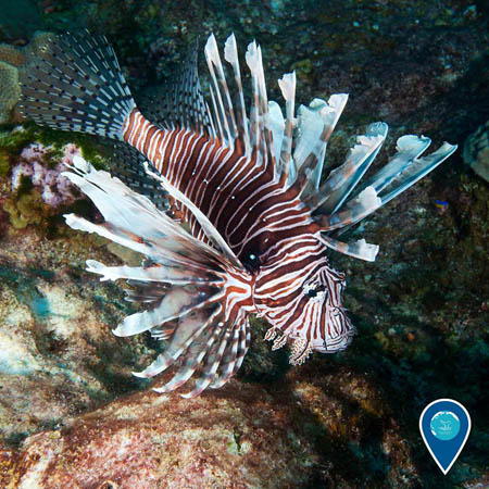photos of a lionfish