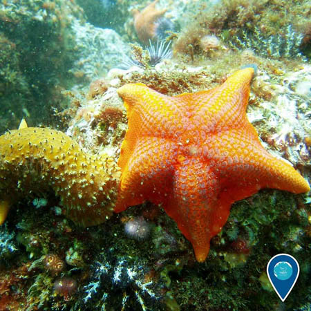 photo of a bat star