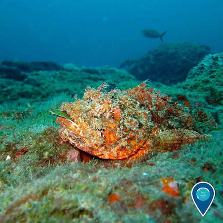 photo of a scorpion fish