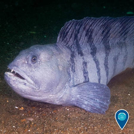 photo of a creepy looking wolfish