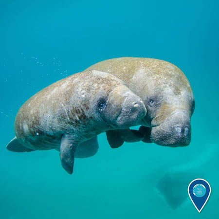 photo of a manatees