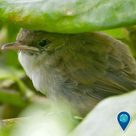photo of a nihoa millerbird