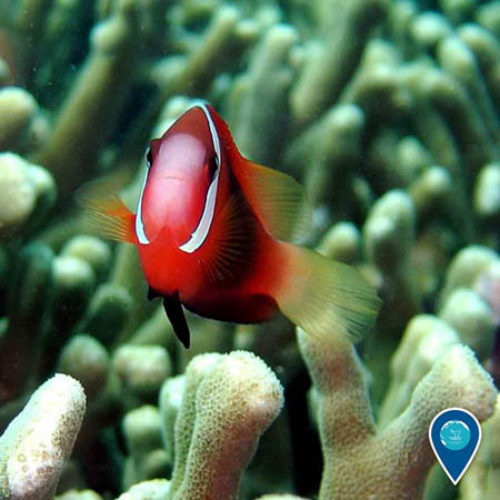 photo of anemone fish