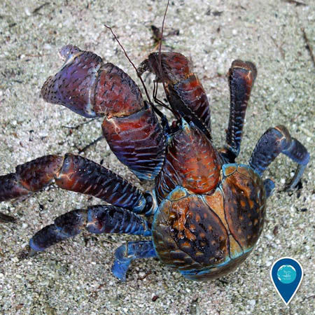 photo of a colorful coconut crab