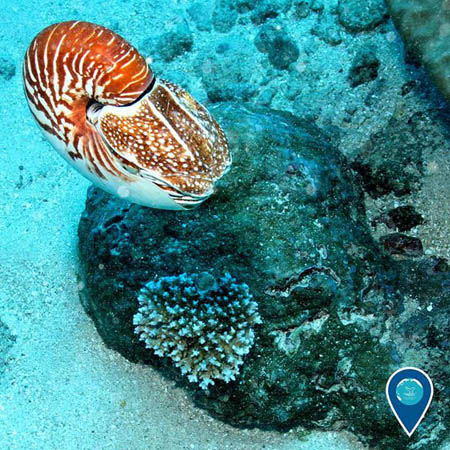 photo of a soft bodied nautilus