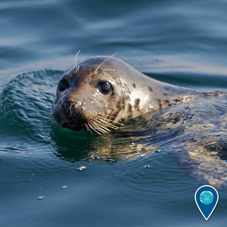 photo of a harbor seal
