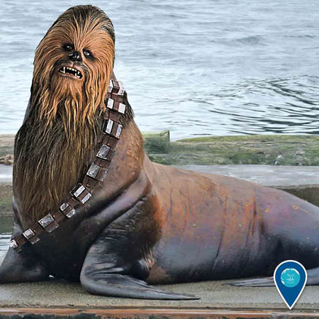 photo of chewbacca as a seal