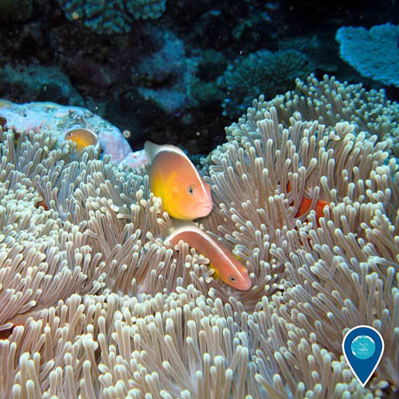 photo of pink anemonefish