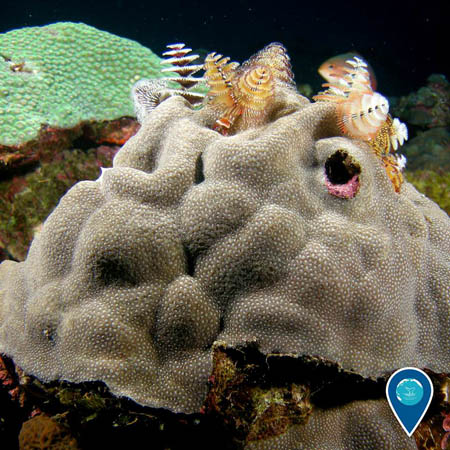 photo of christmas tree worms on coral