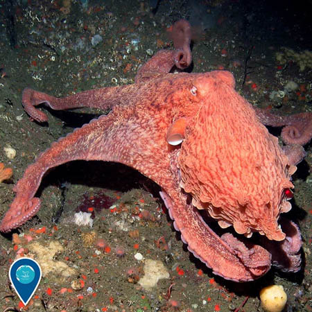 photo of giant orange octopus
