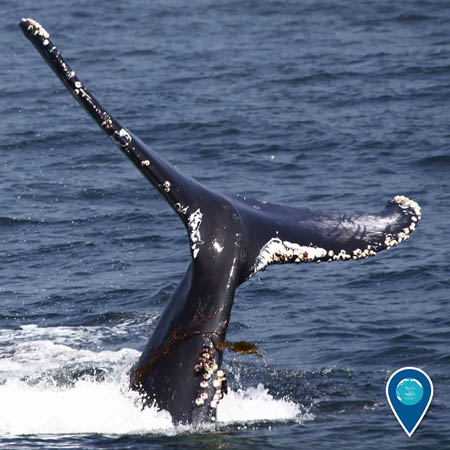 photo of humpback whale tail out of water