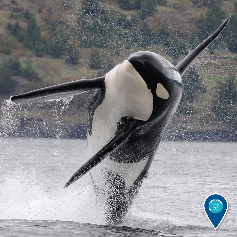 photo of a killer whale breaching