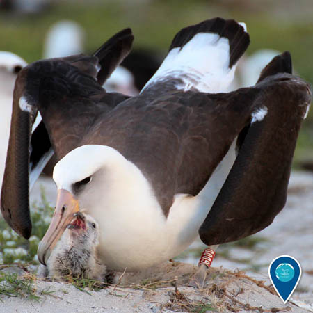 photo of an albatross and chick