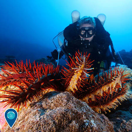 photo of a crown of thorns sea star