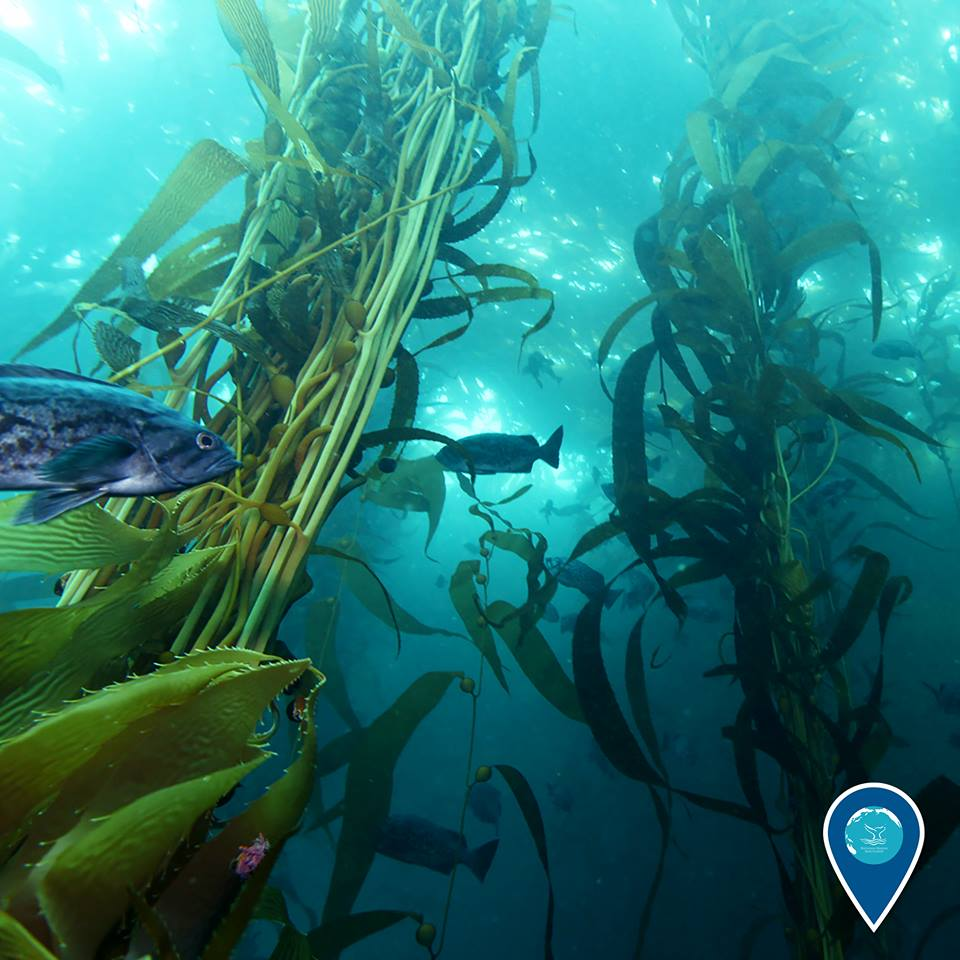 photo of a kelp forest