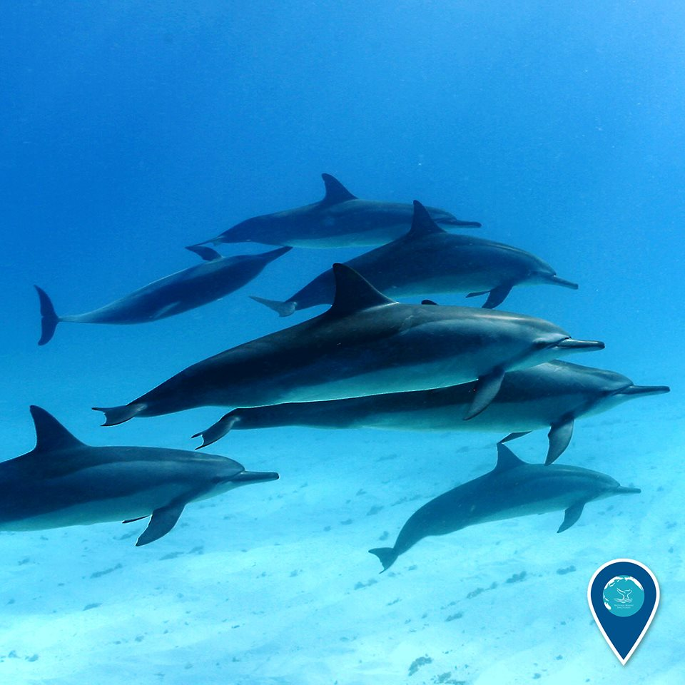 photo of a pod of dolphins