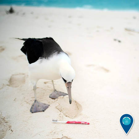 photo of an albatross looking at a toothbrush on the beach
