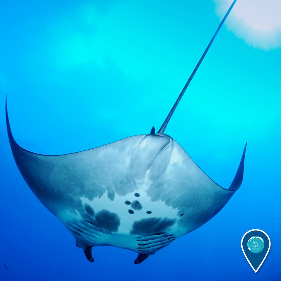 photo of a manta ray