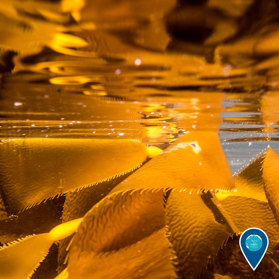 photo of yellow kelp