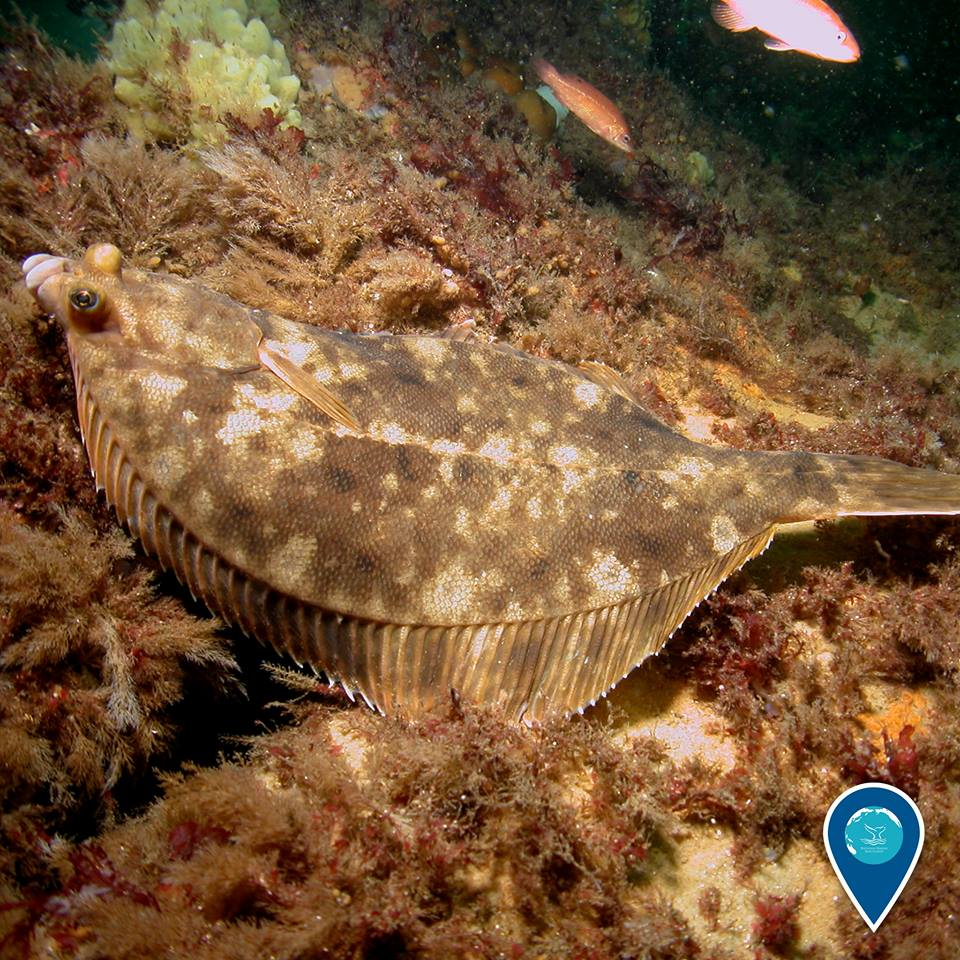 photo of flounder