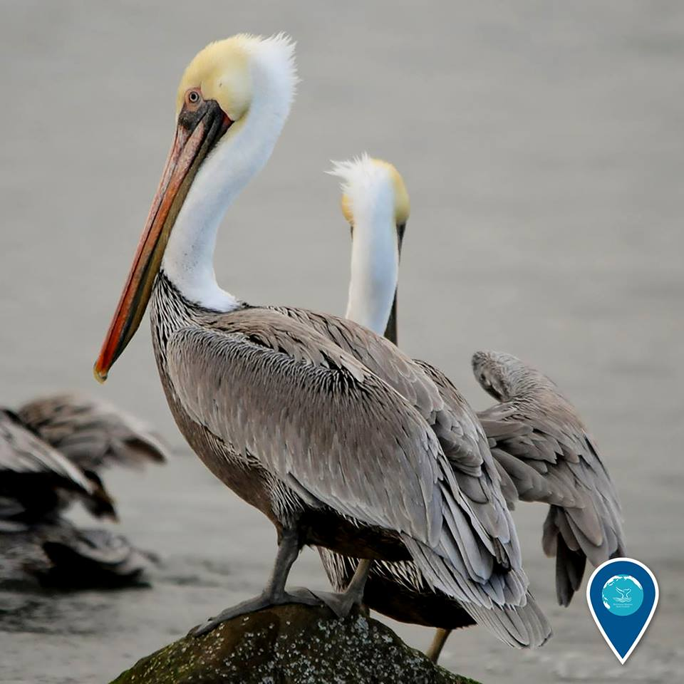 photo of brown pelicans