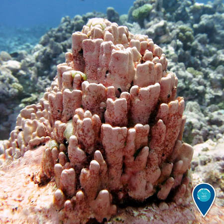 photo of reef with pink algae