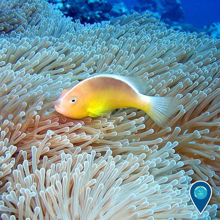 clown fish resting in anemone