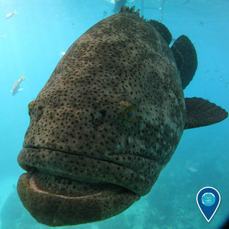 photo of a goliath grouper