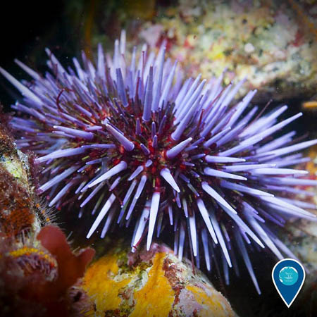 photo of a purple sea urchin