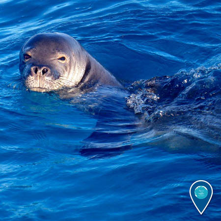 photo of a monk seal
