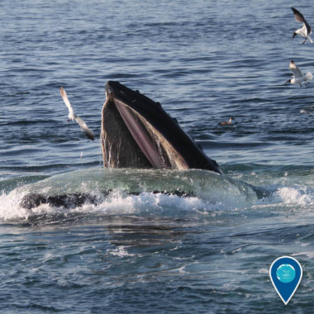 photo of a humbackwhale eating