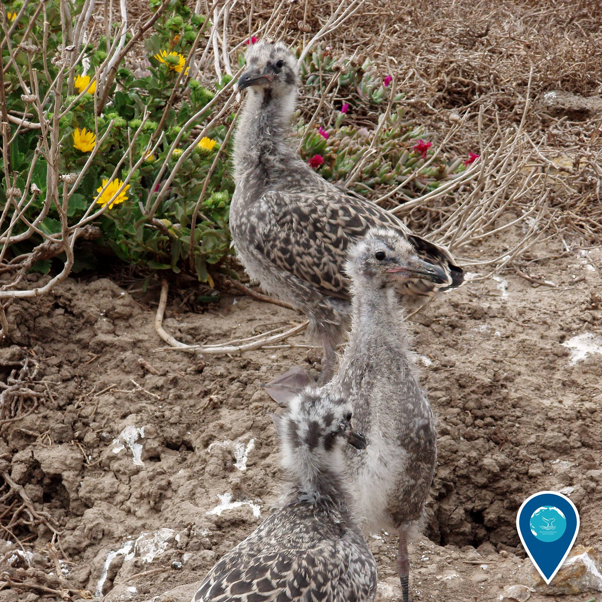 photo of 3 california gull chicks