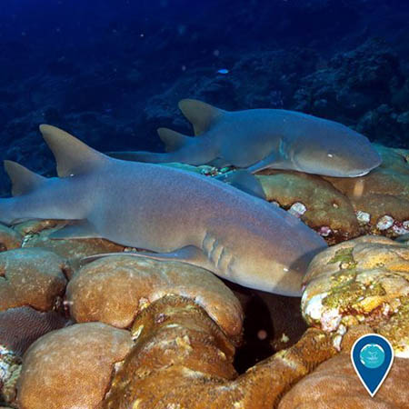 photo of nurse sharks