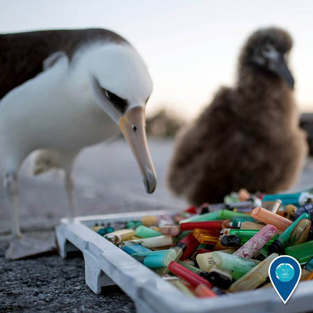 photo of an albatross looking at plastic