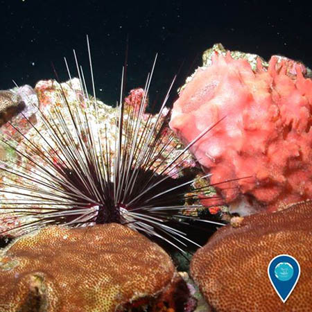 photo of a sea urchin and coral