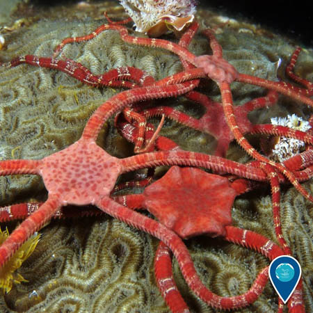photo of a brittle stars
