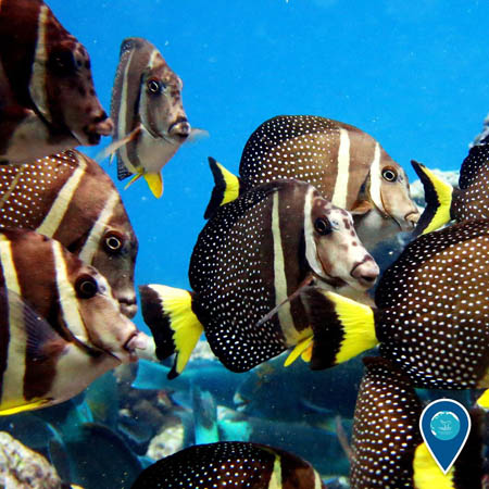 photo of a school of whitespotted surgeonfish