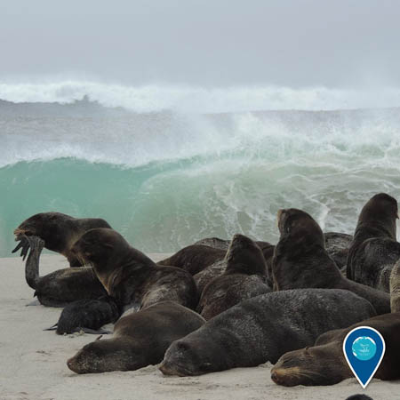 photo of a group of northern fur seals on the beach