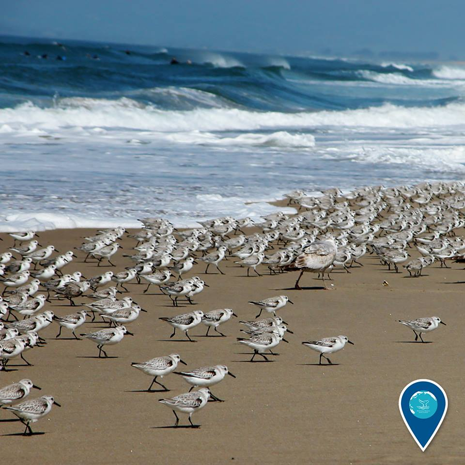 photo of a flock of sanderlings on the beach