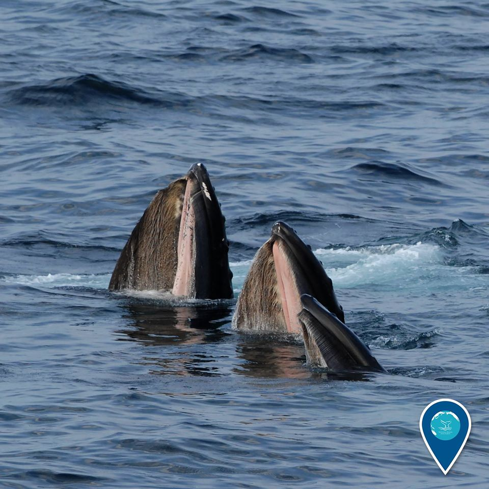 photo of humpback whales eating