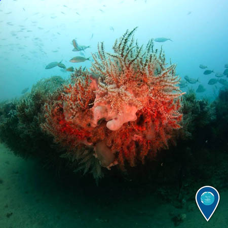 photo of the pink coral, sponges and fish