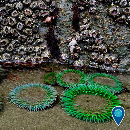 photo of green anemones in a tidepool