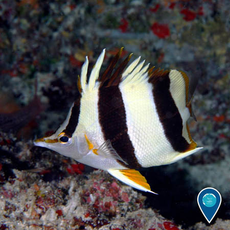 photo of a butterflyfish