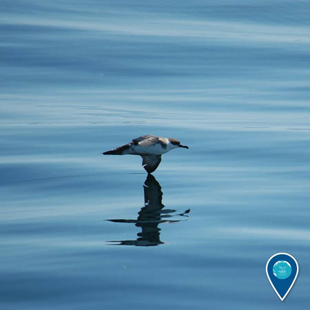 photo of a shearwater skimming the water