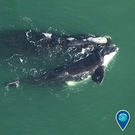 photo of two right whales